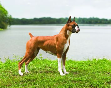 boxer dog breed profile petfinder
