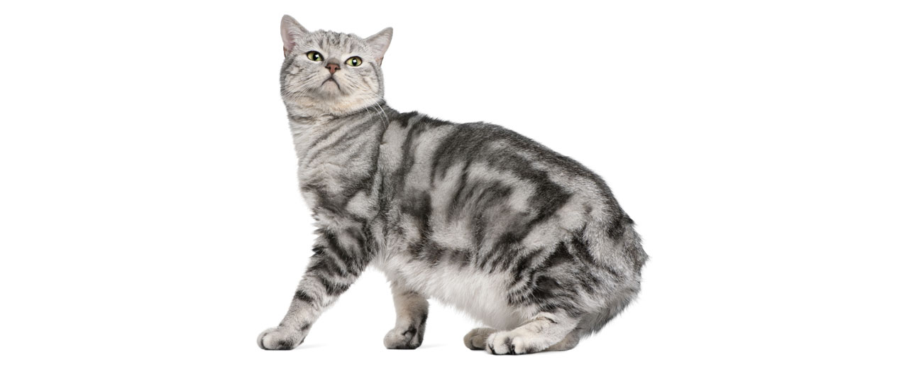 british shorthair cat breed profile petfinder