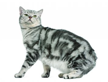 British Shorthair Cat Breed Profile | Petfinder
