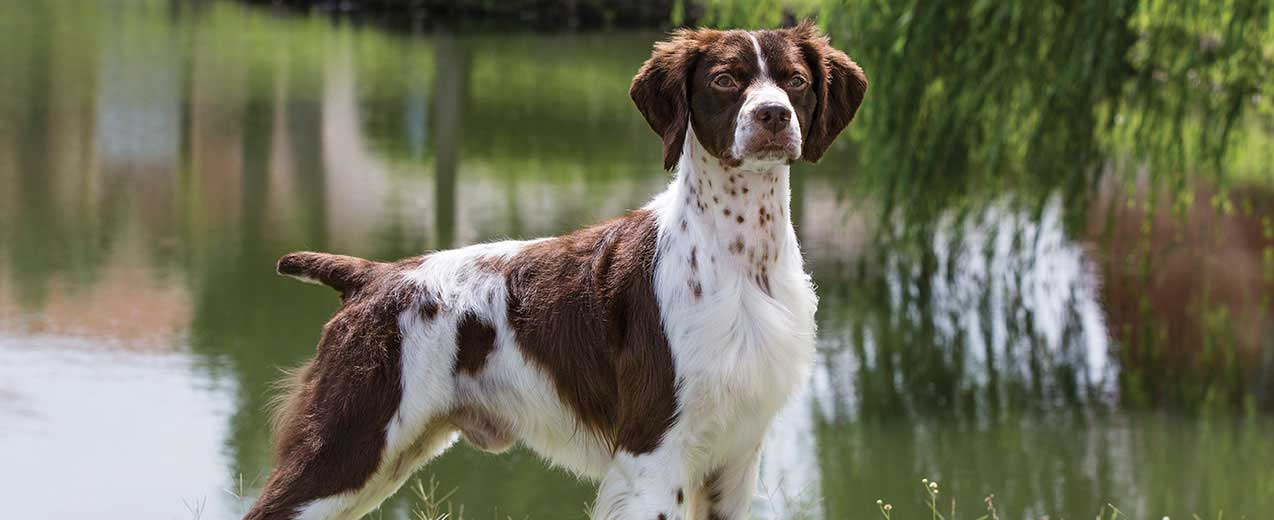 Brittany Spaniel Dog Breed Profile Petfinder