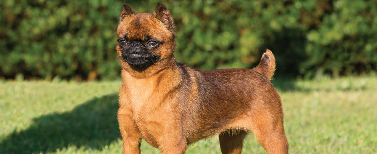 Brussels Griffon Dog Breed Profile