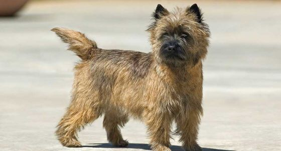 Scottish Terrier Dog Breed Profile | Petfinder