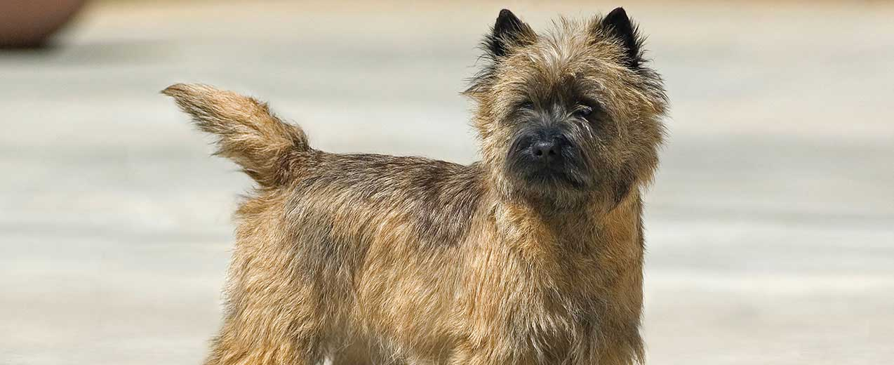 Cairn Terrier Dog Breed Profile Petfinder
