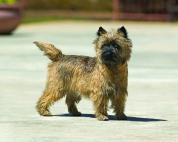 Cairn Terrier Dog Breed Profile | Petfinder
