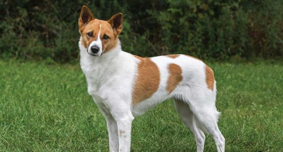 Old English Sheepdog Dog Breed Profile | Petfinder