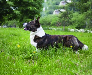 Cardigan Welsh Corgi Dog Breed Profile Petfinder