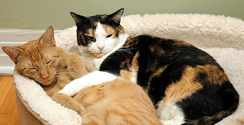 What are the Best Hypoallergenic Cat Breeds for People with