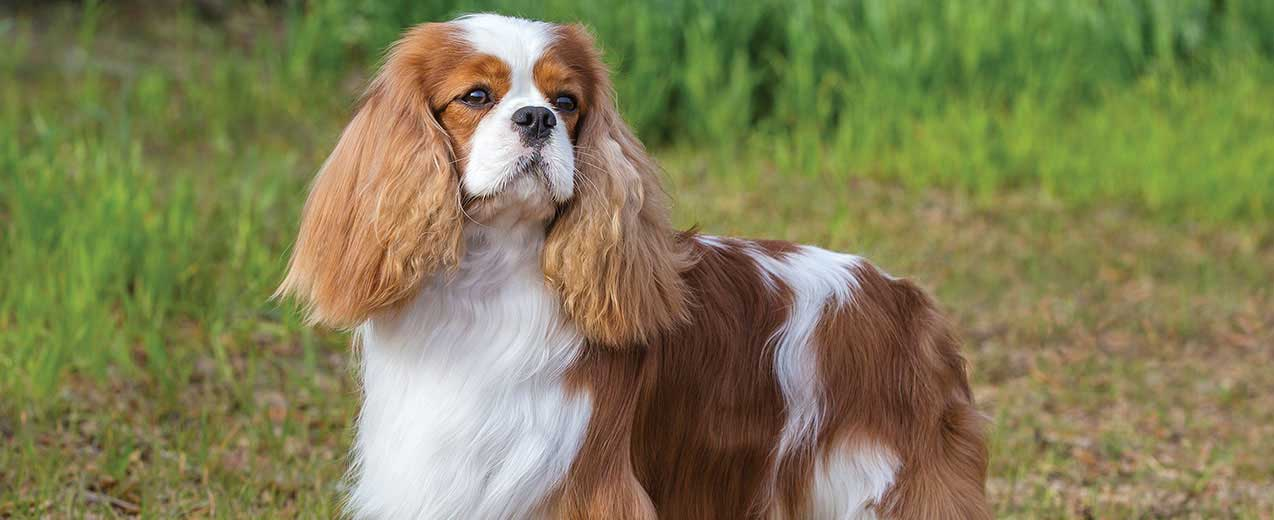 Cavalier King Charles Spaniel Dog Breed Profile Petfinder
