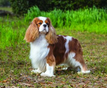 Cavalier King Charles Spaniel Dog Breed Profile Petfinder