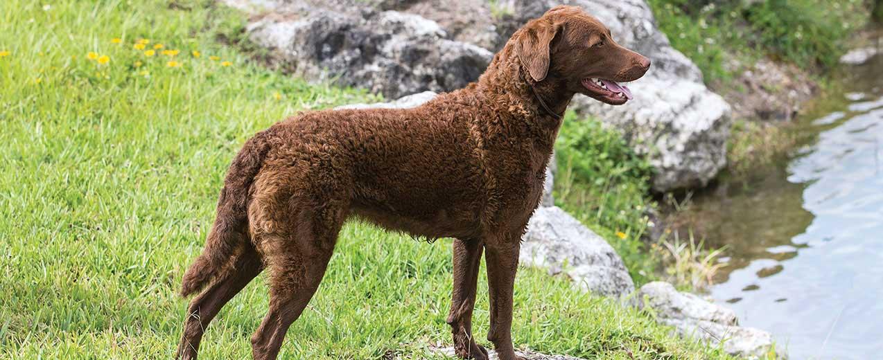 Chesapeake Bay Retriever Dog Breed Profile  94c55617b5