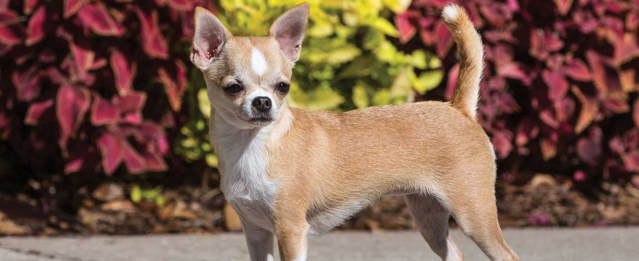 Chihuahua Dog Breed Profile | Petfinder
