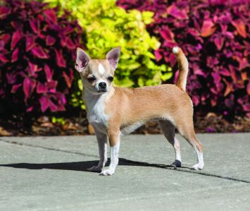 Chihuahua Dog Breed Profile Petfinder