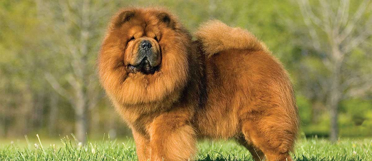 Fluffy Dogs: Top Breeds And Grooming