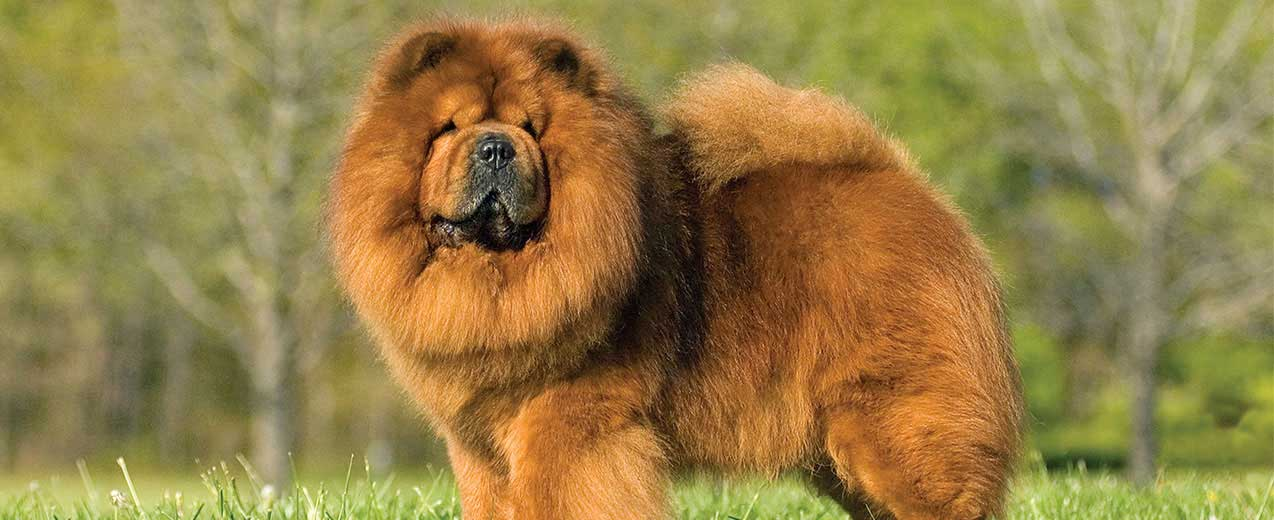 Chow Chow Dog Breed Profile | Petfinder