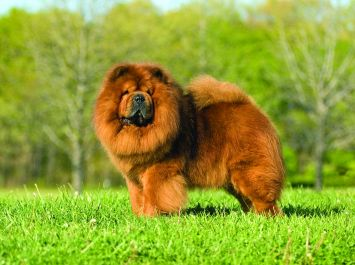 chow chow dog breed profile petfinder