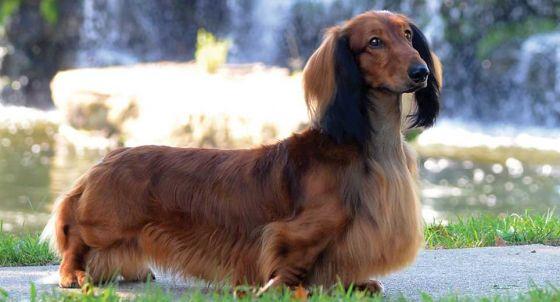 Miniature Dachshund Dog Breed Profile | Petfinder