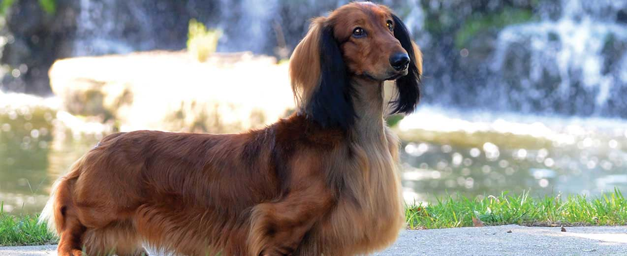 Dachshund Dog Breed Profile | Petfinder