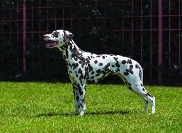 Dalmatian Dog Breed Profile Petfinder