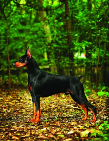 Doberman Pinscher Dog Breed Profile Petfinder