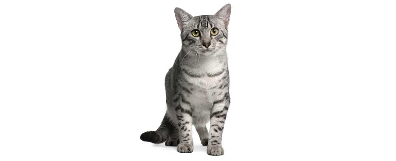 Egyptian Mau Cat Breed Profile Petfinder
