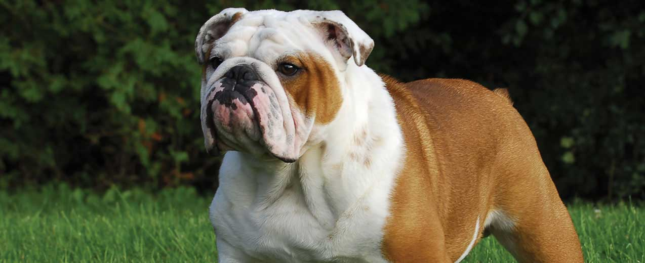 English Bulldog Dog Breed Profile Petfinder