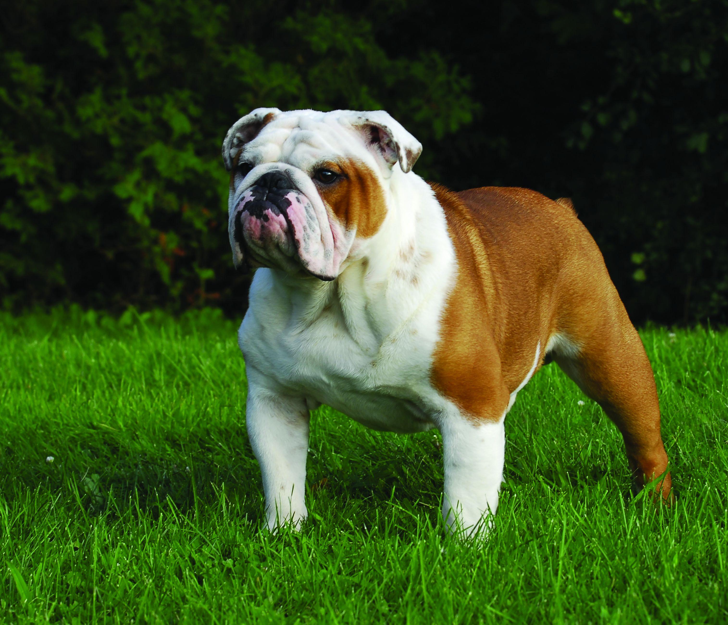English Bulldog Dog Breed Profile Petfinder