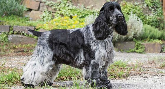 English Springer Spaniel Dog Breed Profile | Petfinder