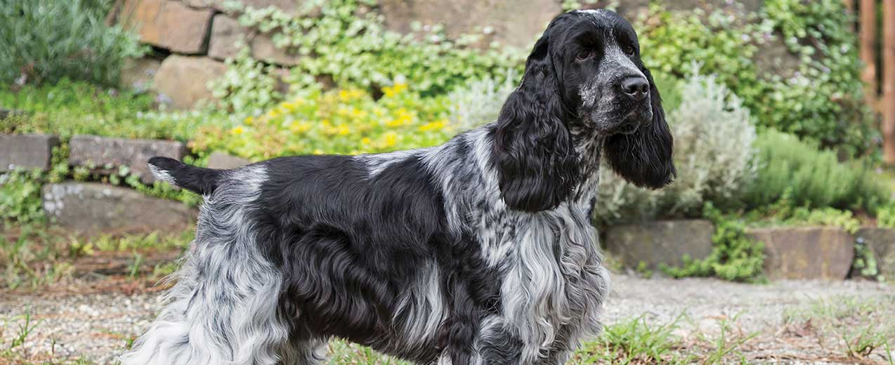 English Cocker Spaniel Dog Breed Profile Petfinder