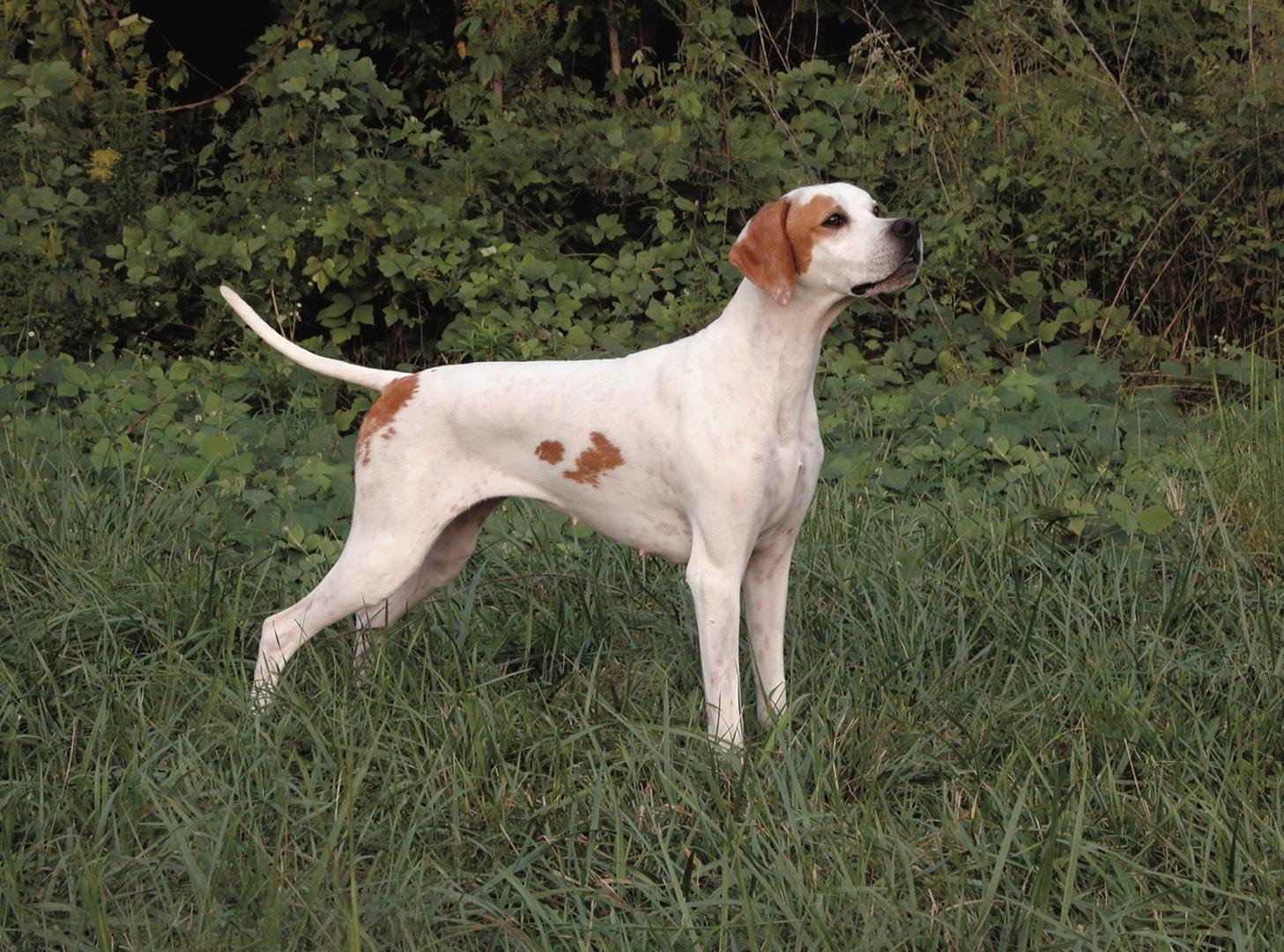 English Pointer Dog Breed Profile Petfinder