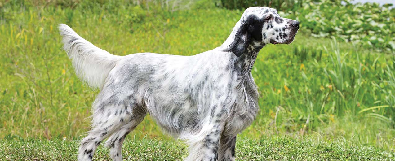 English Setter Dog Breed Profile | Petfinder