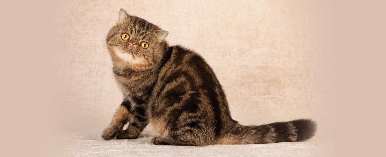 Exotic Shorthair Cat Breed Profile | Petfinder
