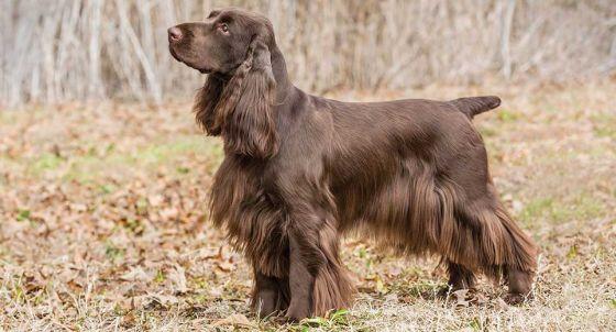 Welsh Springer Spaniel Dog Breed Profile | Petfinder