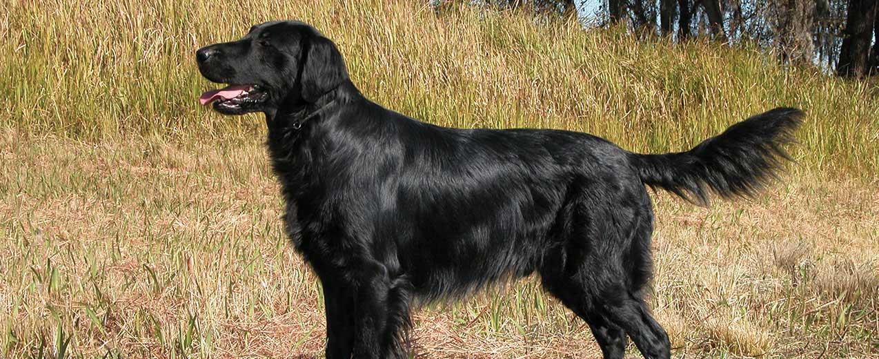 Flat,Coated Retriever Dog Breed Profile