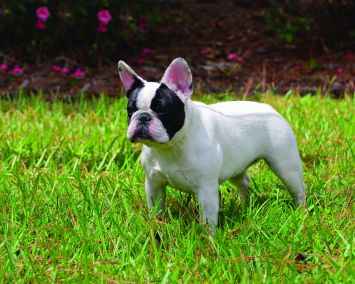 French Bulldog Dog Breed Profile Petfinder