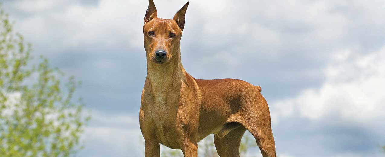 German Pinscher Dog Breed Profile Petfinder