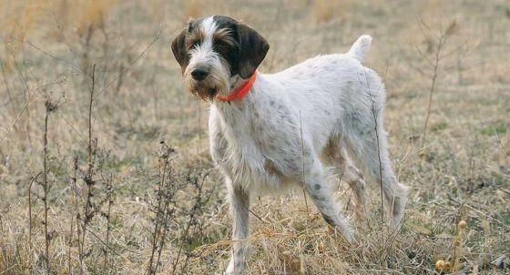 Flat-Coated Retriever Dog Breed Profile | Petfinder