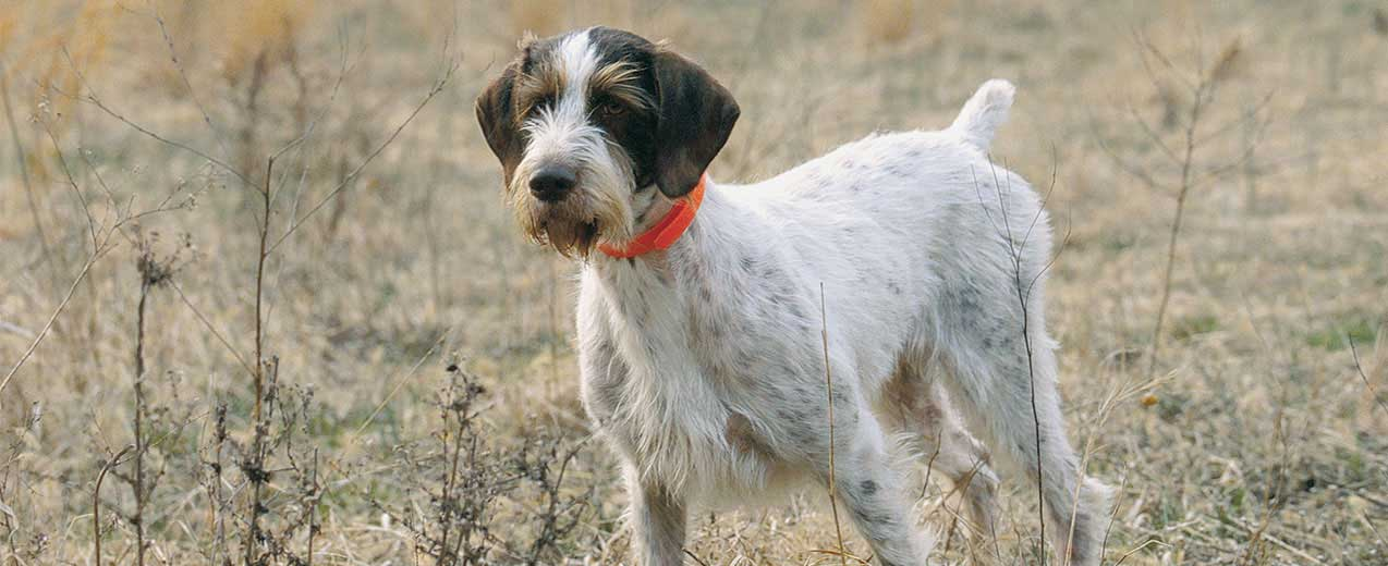 German Wirehaired Pointer Dog Breed Profile Petfinder
