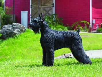 Giant Schnauzer Dog Breed Profile | Petfinder