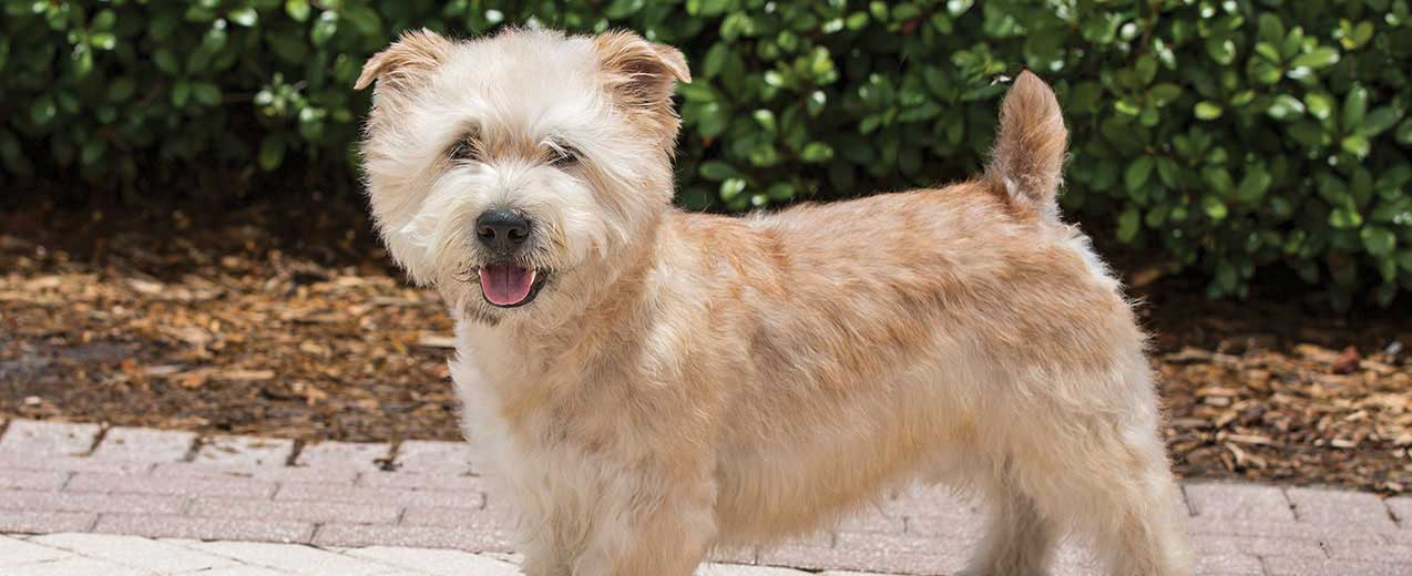 Glen of Imaal Terrier Dog Breed Profile | Petfinder