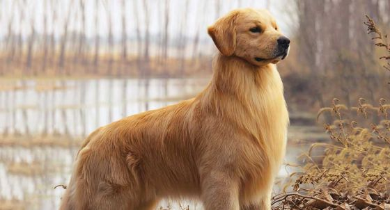 Labrador Retriever Dog Breed Profile | Petfinder