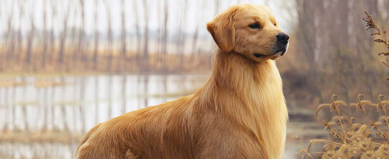Golden Retriever Dog Breed Profile Petfinder