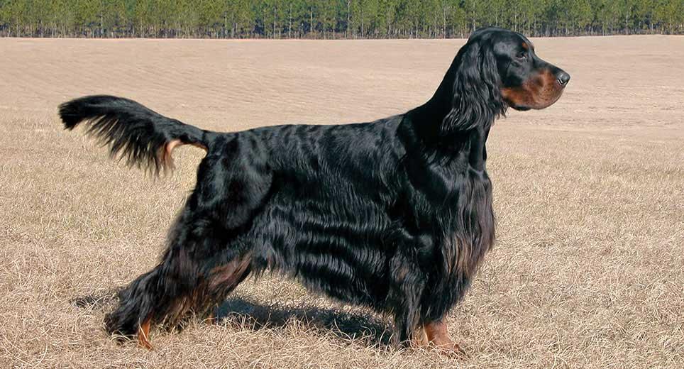 Irish Setter Dog Breed Profile Petfinder
