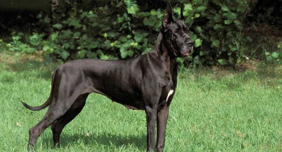 Great Dane Dog Breed Profile Petfinder
