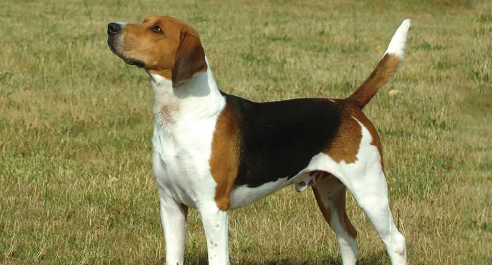 hound dogs for sale near me