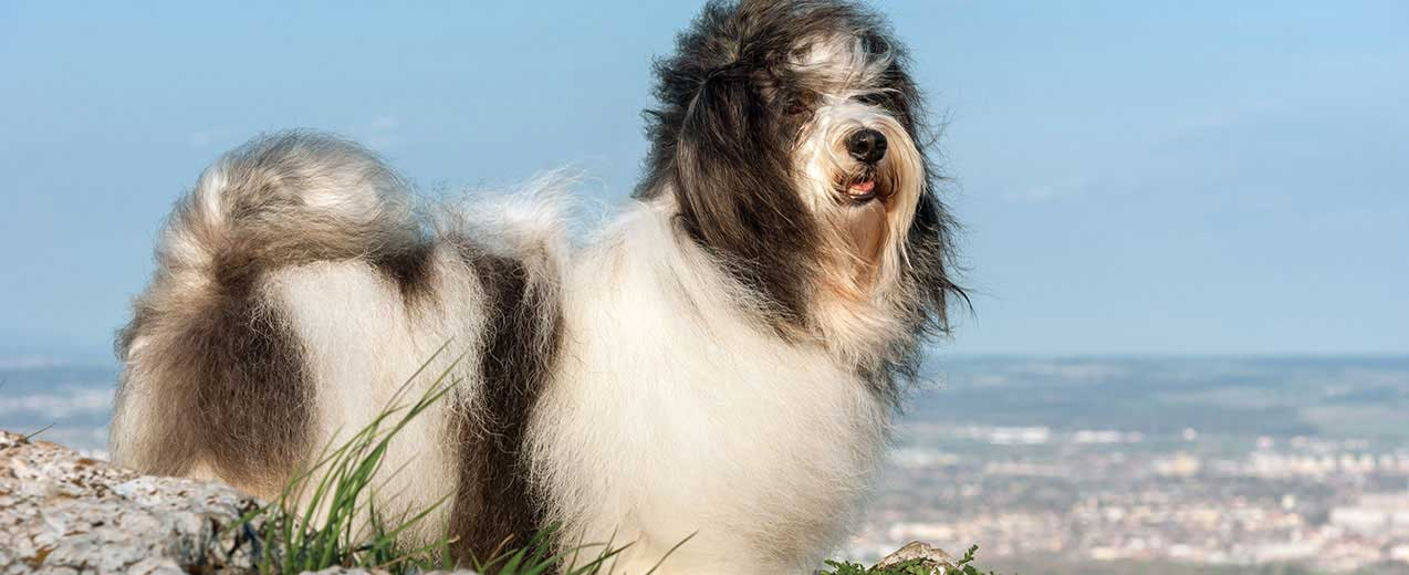 Havanese Dog Breed Profile | Petfinder