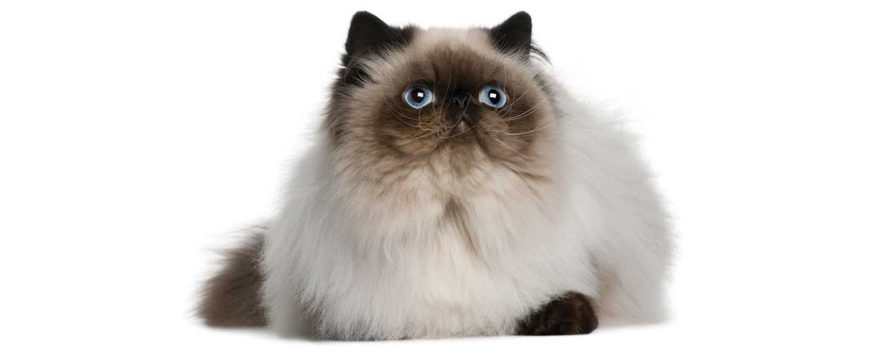 Himalayan Cat Breed Profile | Petfinder