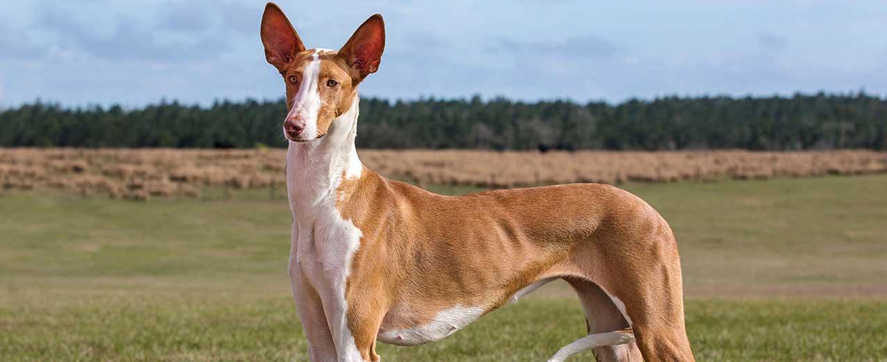 Ibizan Hound Dog Breed Profile   Petfinder