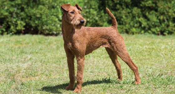 airedale terrier dog breed profile petfinder
