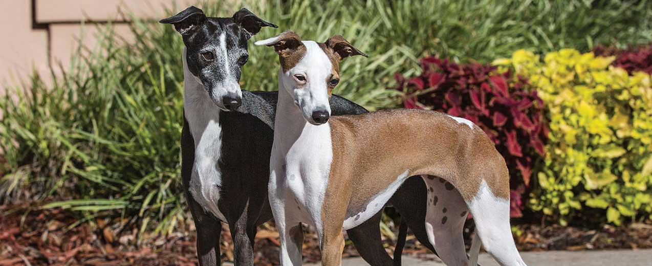 Italian Greyhound Dog Breed Profile Petfinder