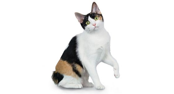 Scottish Fold Cat Breed Profile | Petfinder